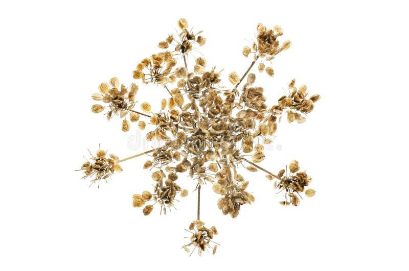 Dried hogweed seedhead. Dried hogweed, Heracleum sphondylium, seedhead isolated against white stock images
