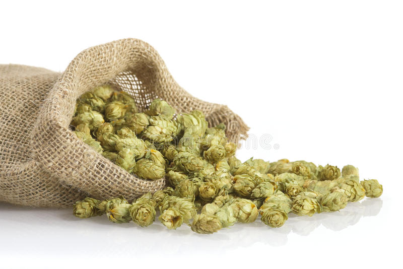 Dried hops. Many dried hops for beer and brewery in a gunnysack royalty free stock photo