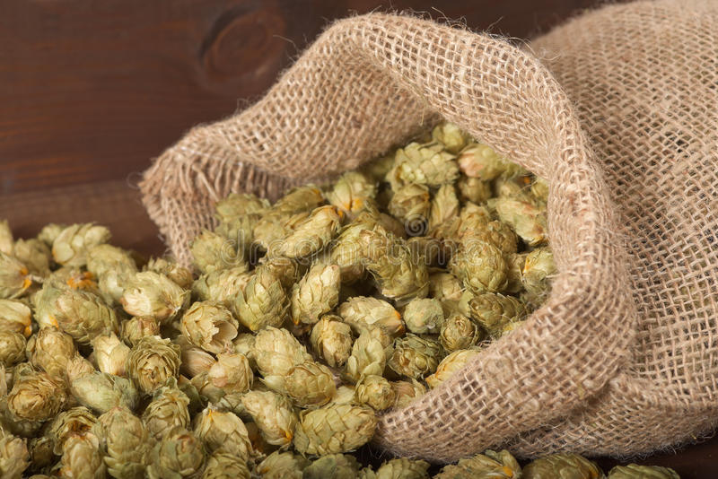 Dried hops. Many dried hops for beer and brewery in gunnysack on old weathered wooden board stock image
