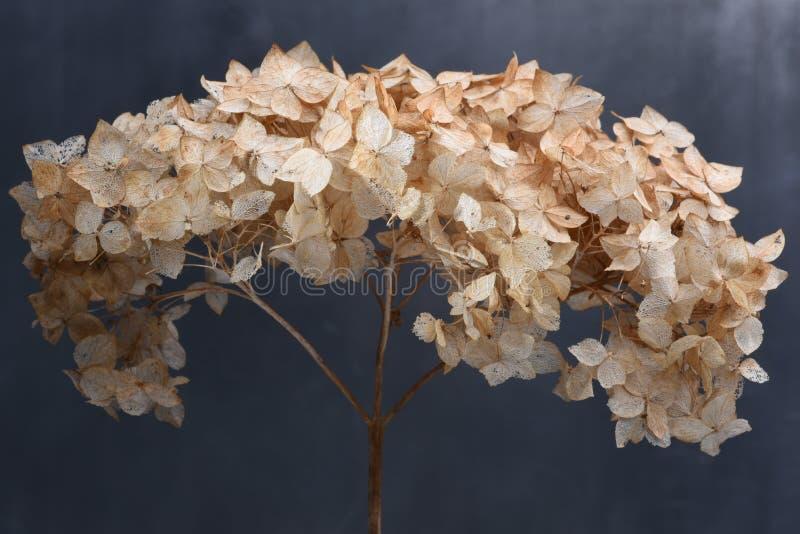 Dried hydrangea flowers stock photos