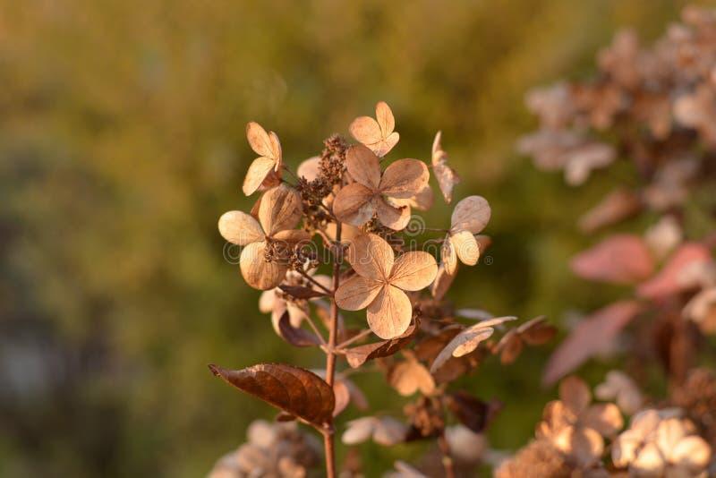 Dried hydrangea paniculata flowers in the autumn garden on blurred background stock photo