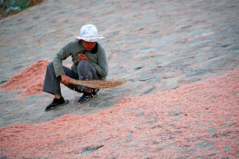 Dried krill. Vietnamese woman sweeps dried krill with a broom royalty free stock photography