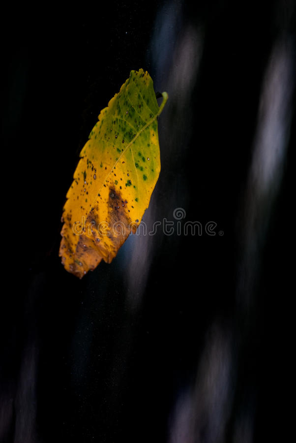 Dried Leaf. For background use royalty free stock image