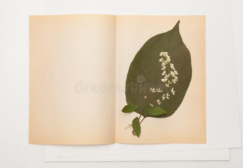 Dried leaf of lilac and bird cherry flowers on sheet of old paper stock images