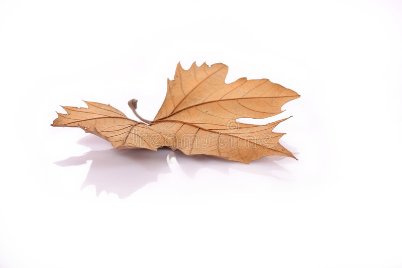 Download Dried leave stock image. Image of isolated, maple, outdoor - 6322623