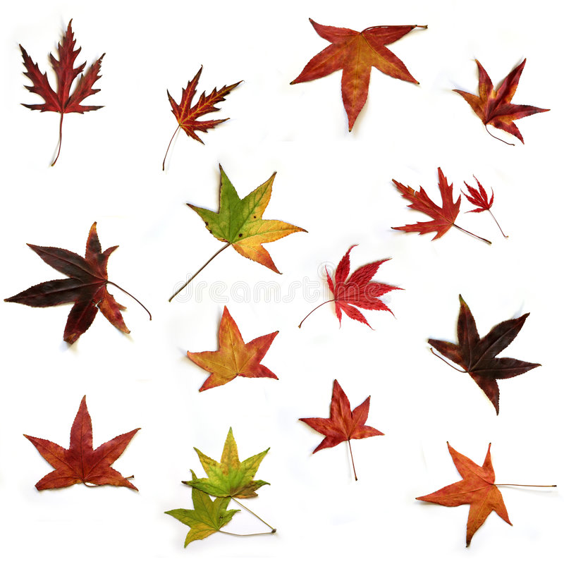 Dried leaves. Sixteen dried autumn leaves on white background royalty free stock photo