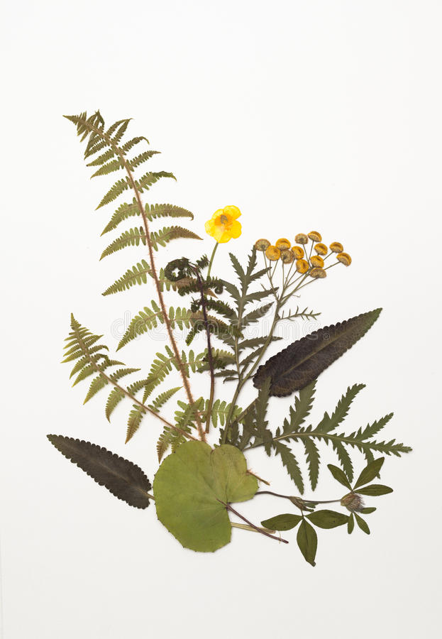 Dried leaves of fern, tansy, Buttercup, clover, sage, foalfoot stock photos
