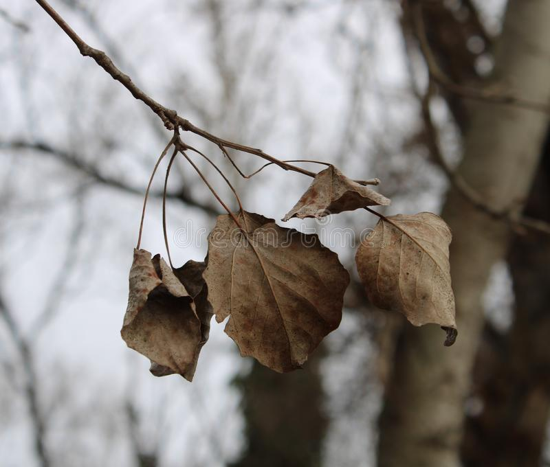 Dried leaves on a tree. At wintertime royalty free stock photography