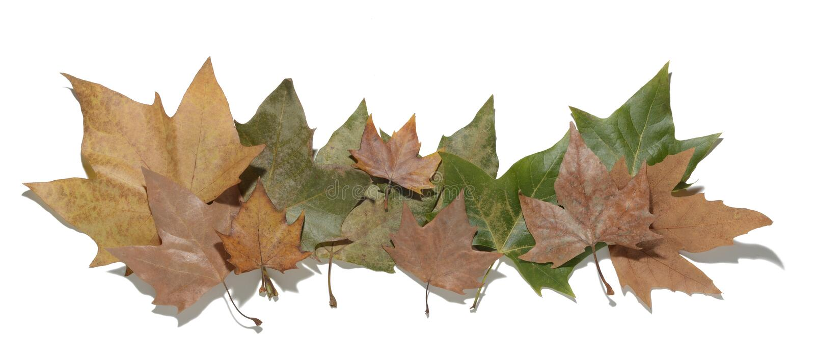 Dried leaves. On white background royalty free stock images