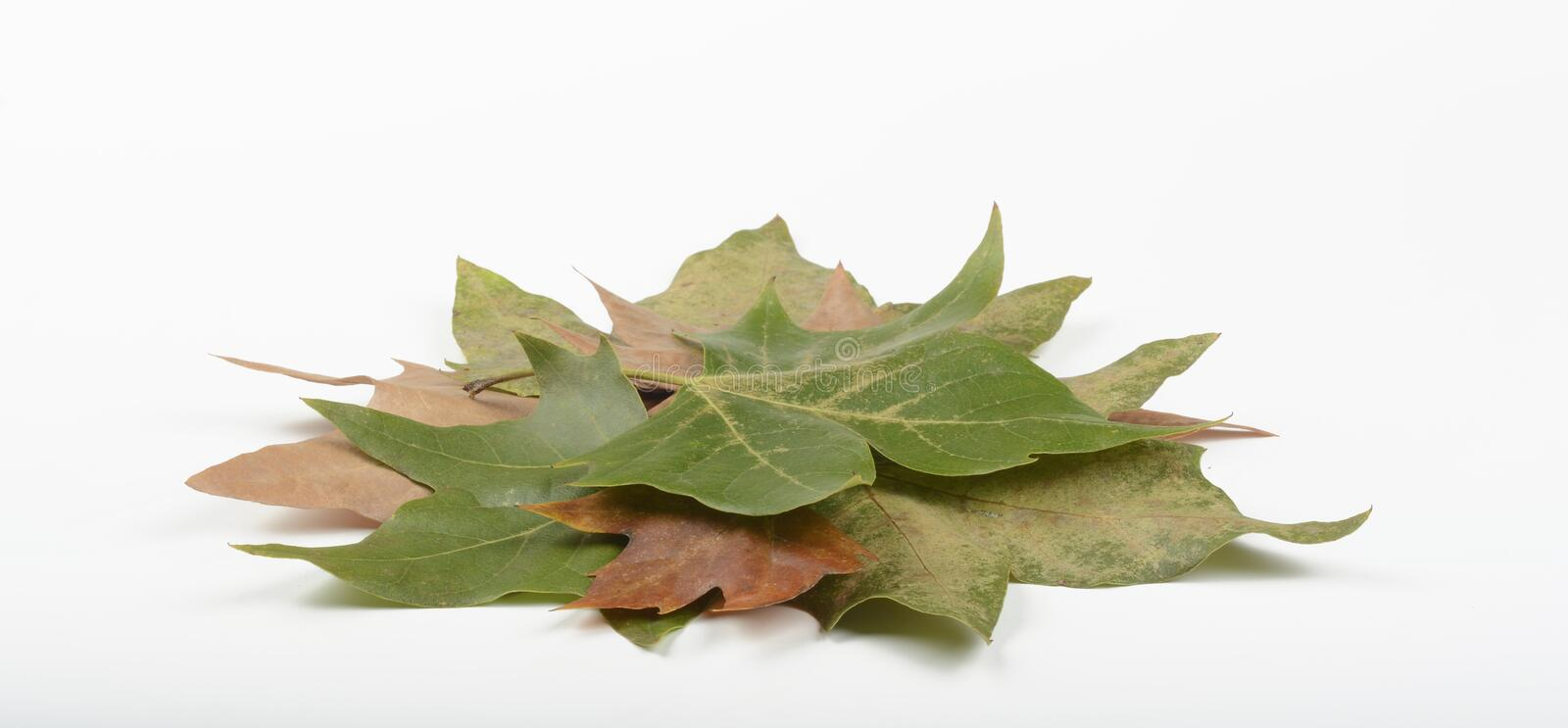 Dried leaves. On white background stock photography
