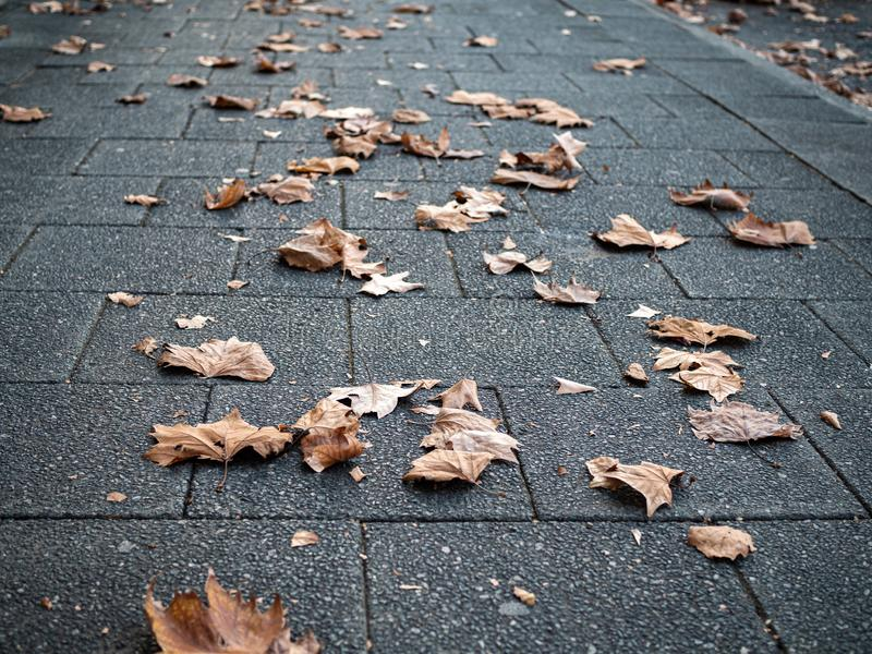 Dried maple leaves fallen onto tiled pavement. With focus on foreground stock images
