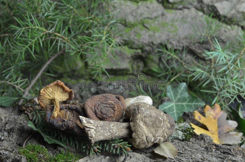 Dried mushrooms culinary cooking aroma bio. Eco organic nature stock photo