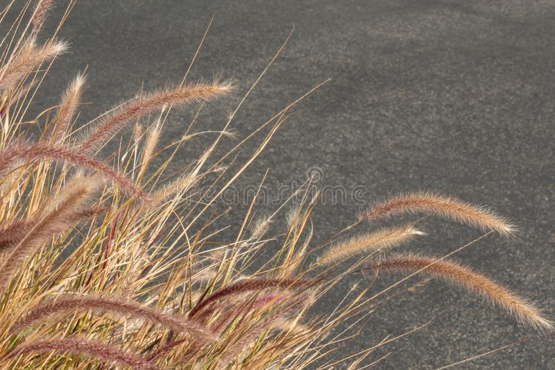 Dried ornamental grasses in winter with seed heads against a neutral download dried ornamental grasses in winter with seed heads against a neutral grey background stock photo workwithnaturefo