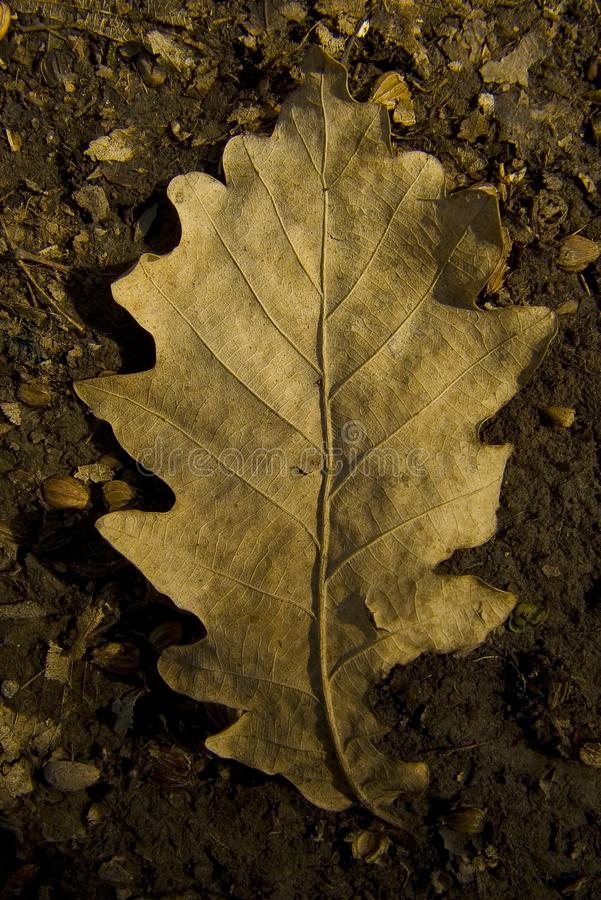 Dried out autumn leaf