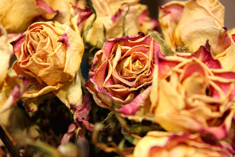 Close up of dry roses on dark background stock image