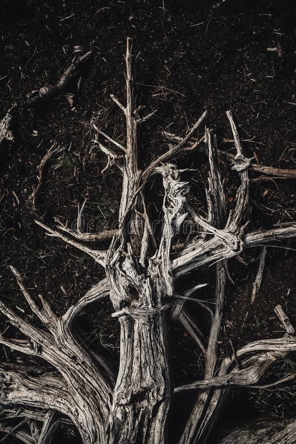 Dried out, white elements of dead wood. Wooden, natural motive. Found on the shores of dried out lake in hot, dry summertime in Norway stock photos