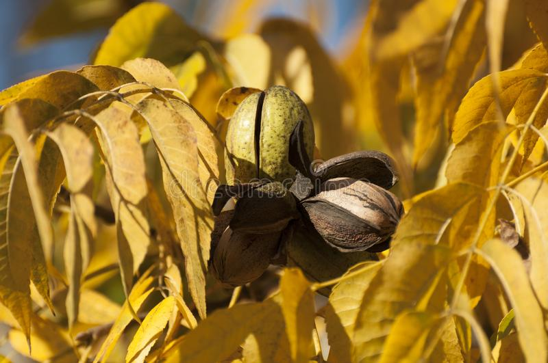Pecan Orchard in Winter. Dried Pecan tree in picking seaon royalty free stock images