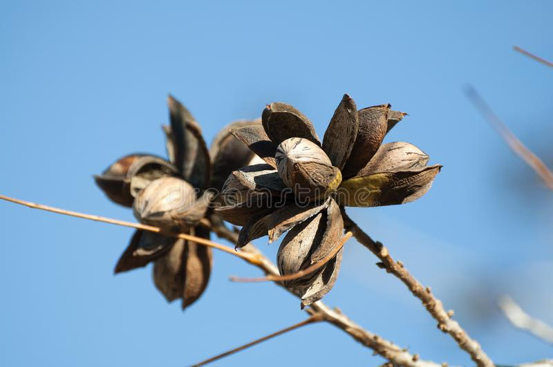 Pecan Orchard in Winter. Dried Pecan tree in picking seaon royalty free stock image