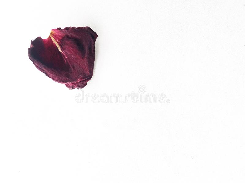 Dried petal red rose isolated on white background royalty free stock photo