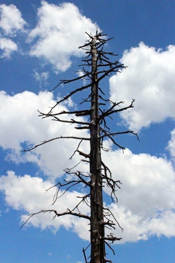 Dried Pine Tree , Yosemite National Park stock photo