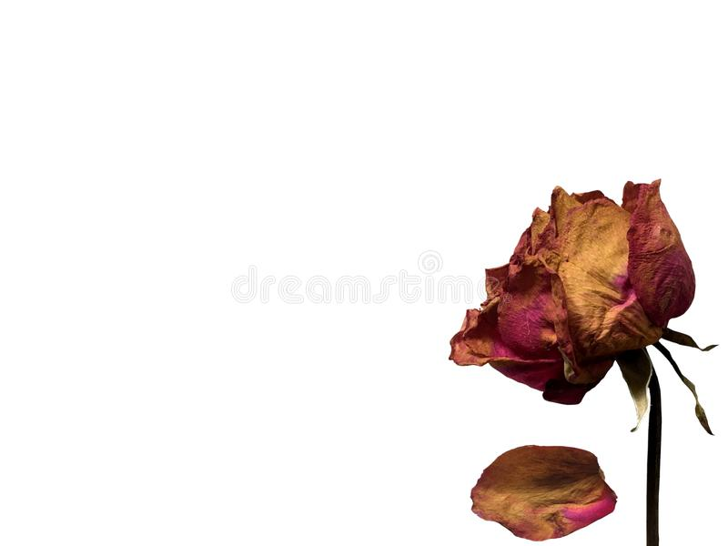 Dried pink rose isolated on white background royalty free stock image