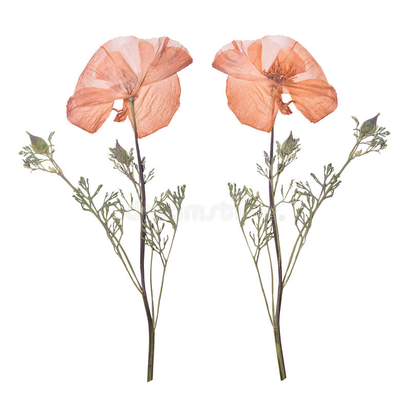 Dried and pressed the spring pink flowers isolated on white background. Herbarium of wild flowers. stock photography