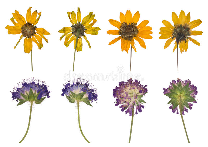 Dried and pressed the spring wild flowers isolated on white background. stock photography