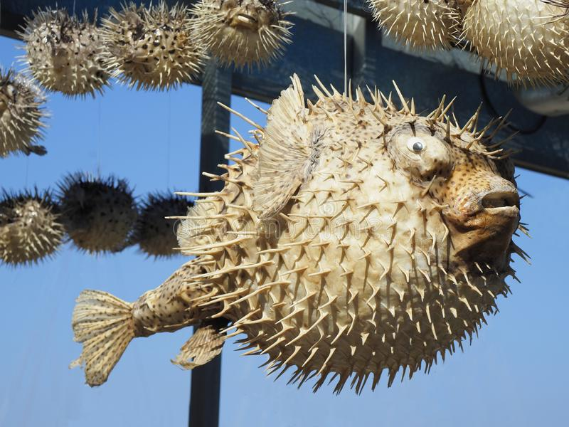Dried Puffer Fish sold as Souvenirs in Crete stock photography