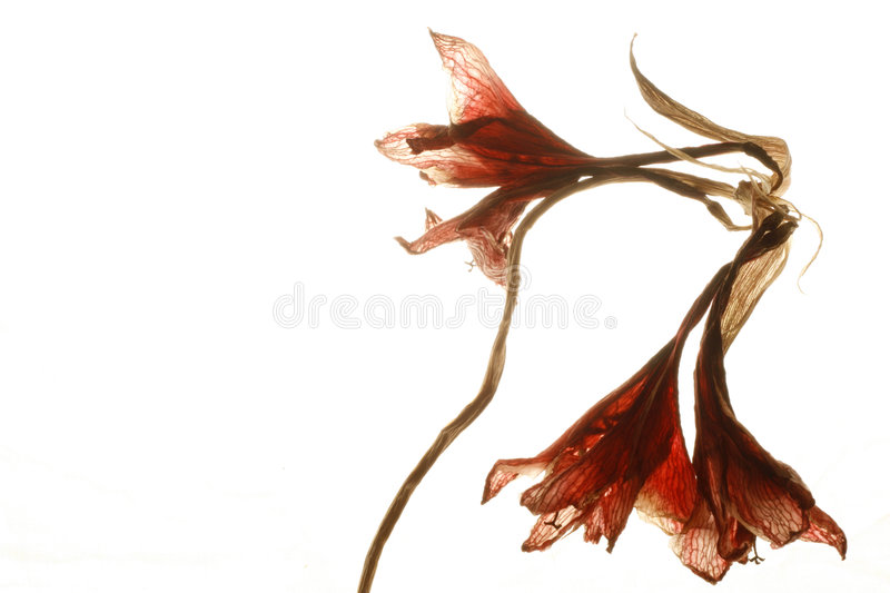 Dried red flower on white stock photo