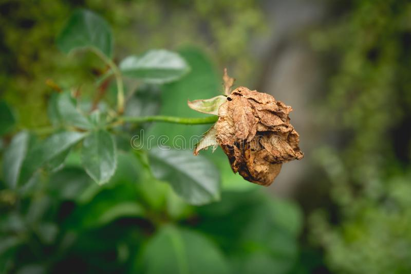 Dried red rose on nature background. Dried dead flowers red rose. Sad valentine concept stock image