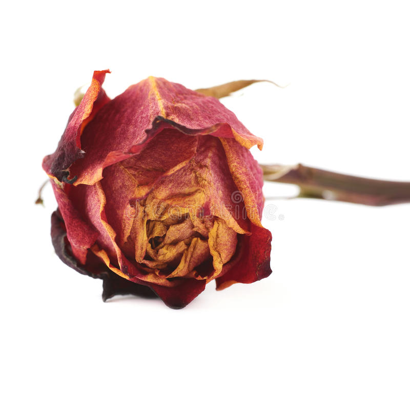 Dried red rose over the white isolated background stock photos