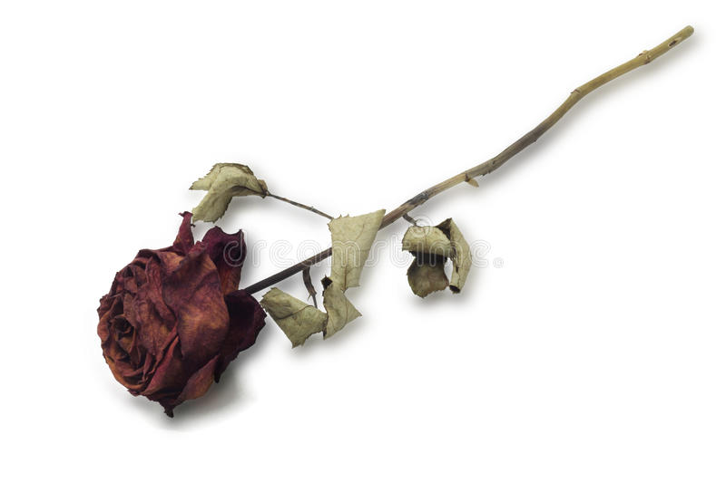 Dried Red Rose. Single Stalk of Dried Red Rose On White Background stock images