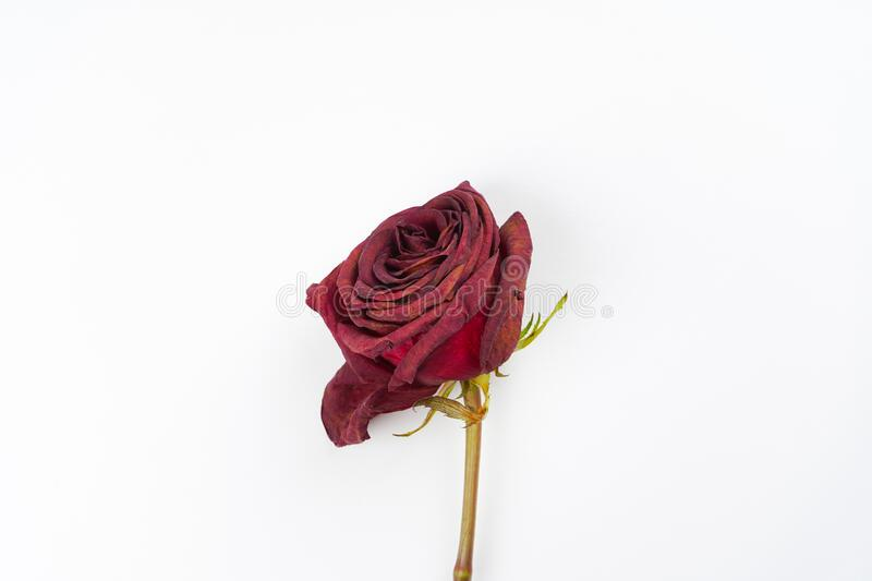 Dried red rose on white background. Sadness, broken heart concept. Close-up, top view, copy space stock photo