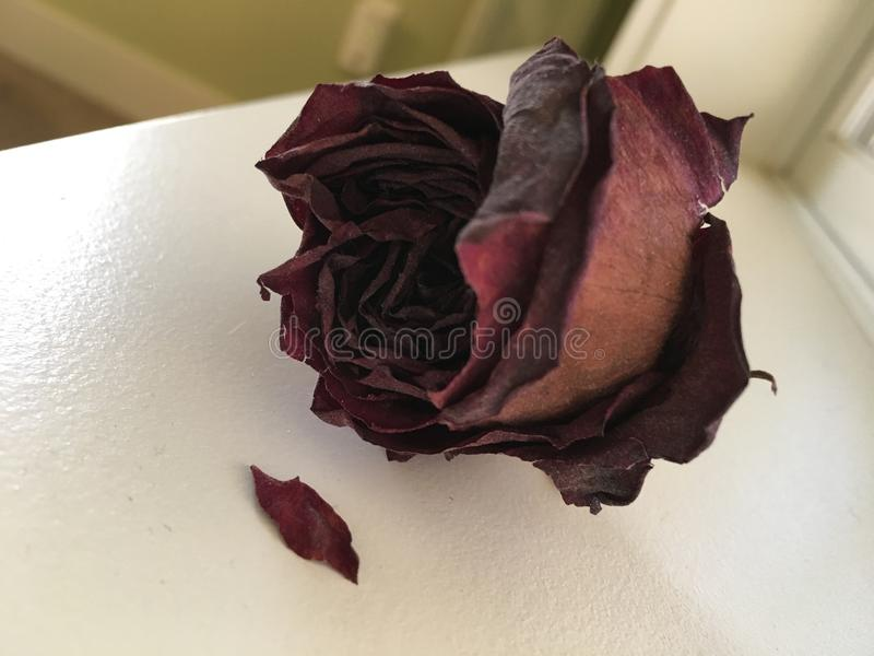 Dried Red Rose on a White Windowsill stock photos