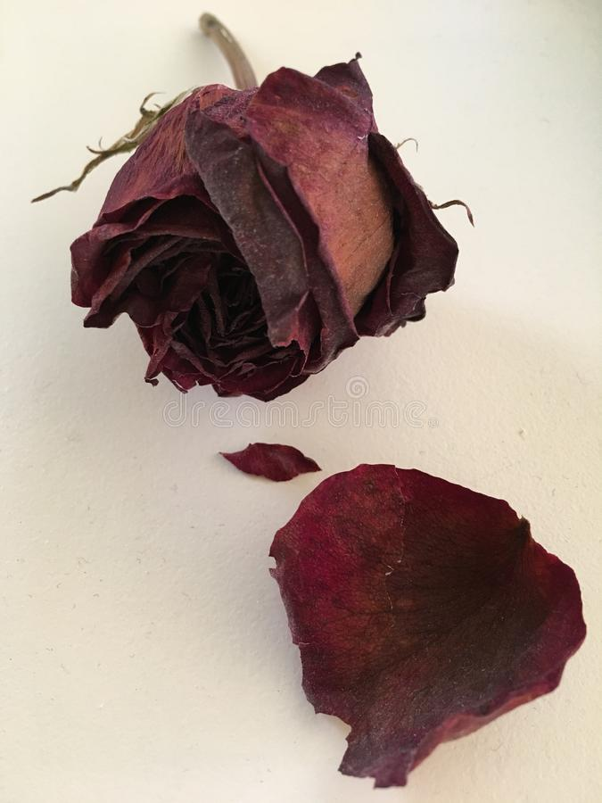 Dried Red Rose on a White Windowsill royalty free stock images