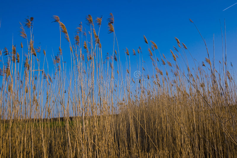 Dried Reeds. Against bright blue sky, waving in breeze stock photos