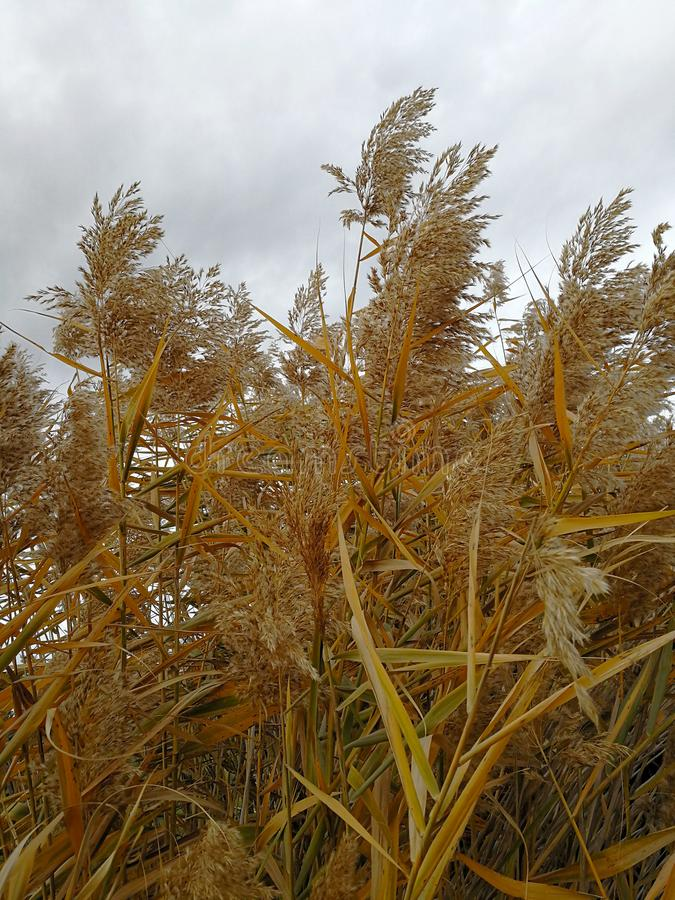 Dried reeds with golden feathers. On a cloudy day royalty free stock image