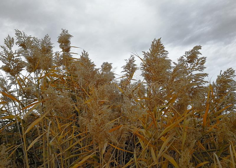 Dried reeds with golden feathers. In a cloudy day royalty free stock image