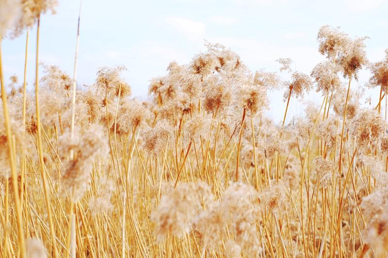 Dried reeds, grass. Dried reeds dry, dried, reeds roof background nature reed, sky royalty free stock photos