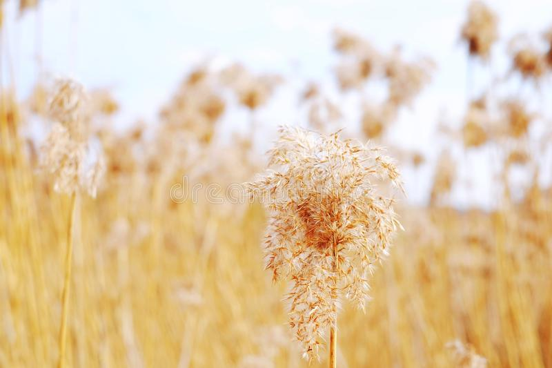 Dried reeds, grass. Dried reeds dry, dried, reeds roof background nature reed, sky stock image