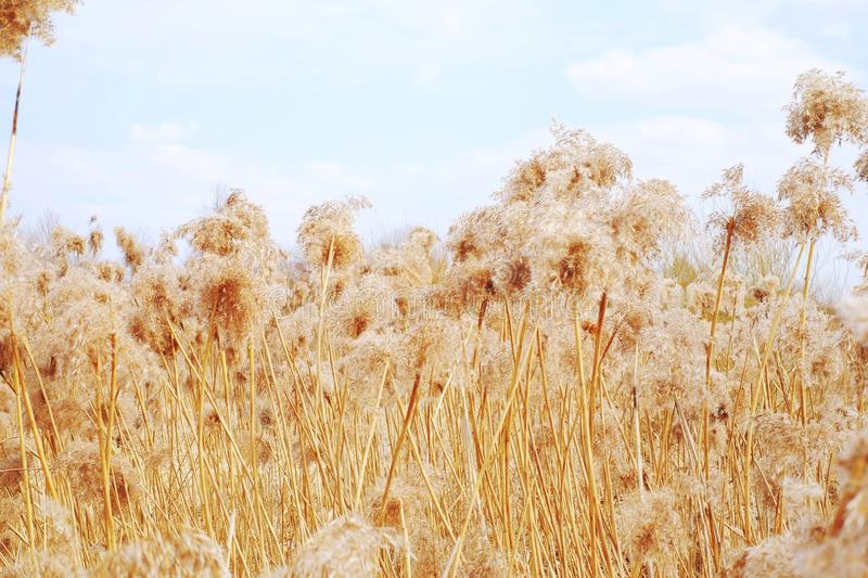 Dried reeds, grass. Dried reeds dry, dried, reeds roof background nature reed, sky royalty free stock photo