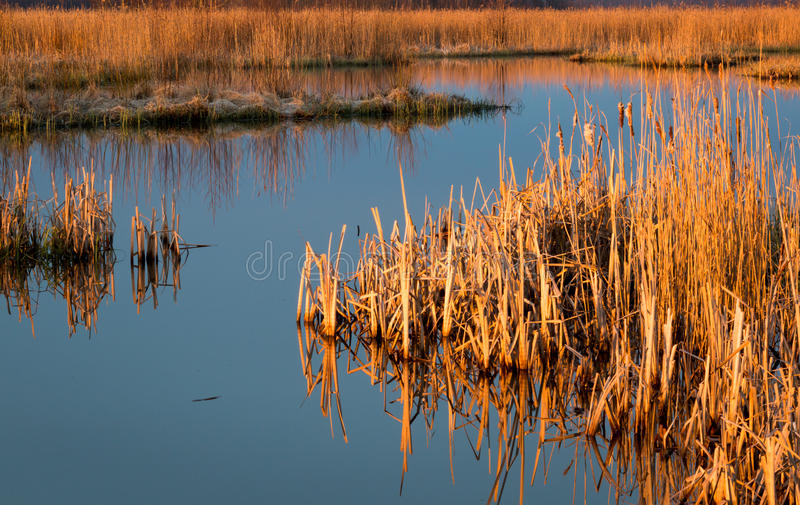 Dried reeds at an overgrowing lake in spring. Dried reeds and cattails at an overgrowing lake during sunrise royalty free stock image