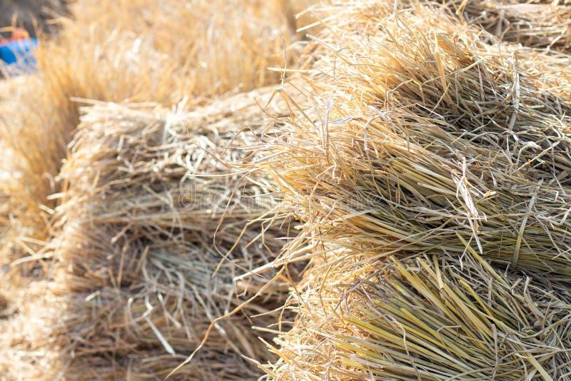 Dried rice straw bundle stock photos