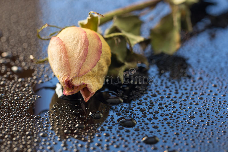 Dried Rose Abstract I royalty free stock photography