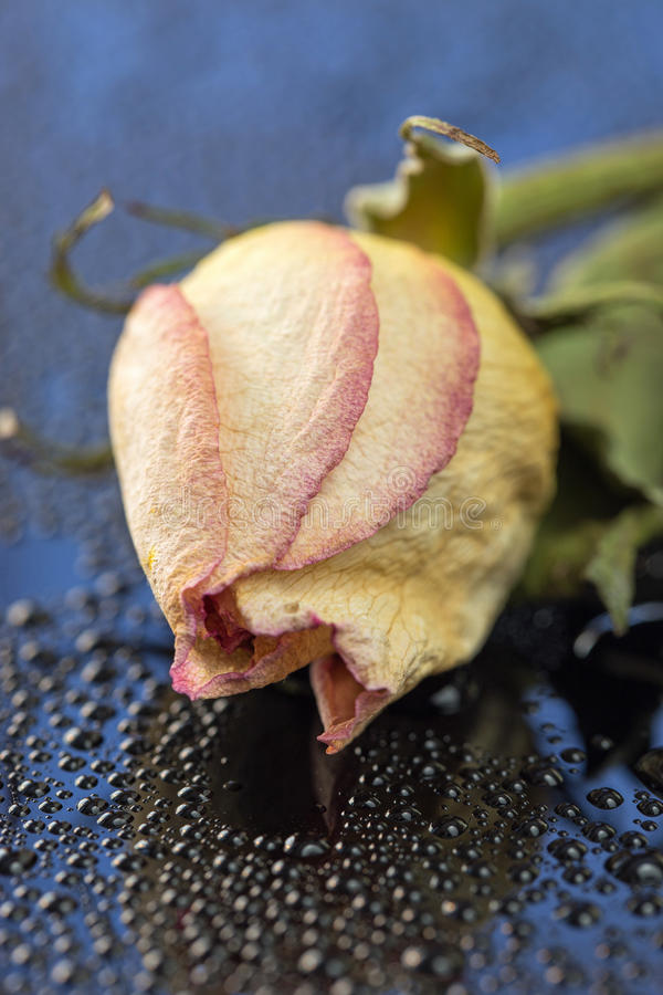 Dried Rose Abstract II royalty free stock photography