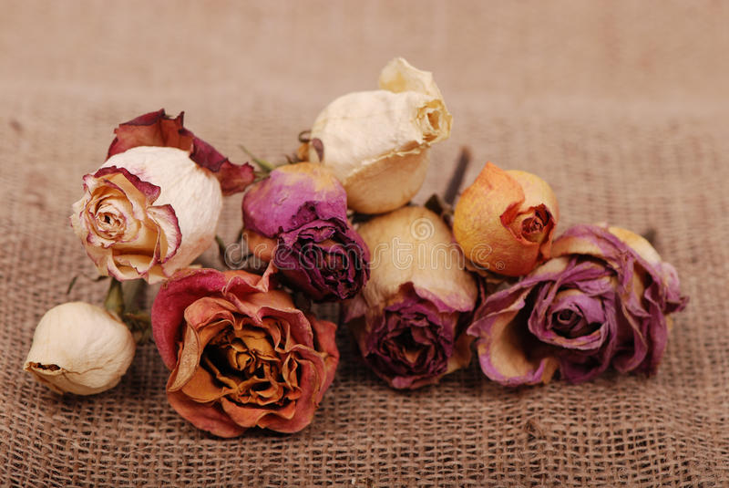 Dried roses. Image of colorful dried roses over vintage background stock photography