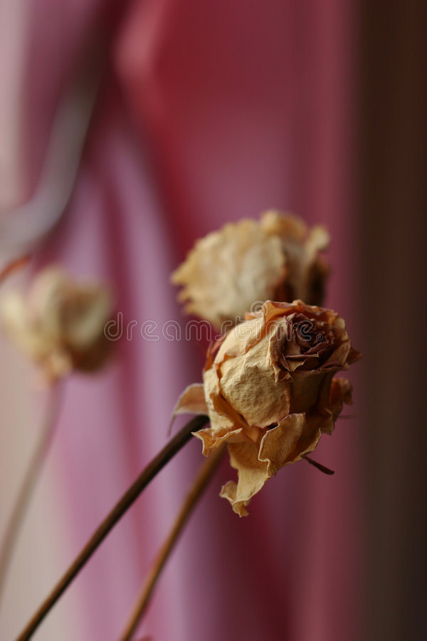 Download Dried Roses stock image. Image of aged, flora, love, rose - 646087