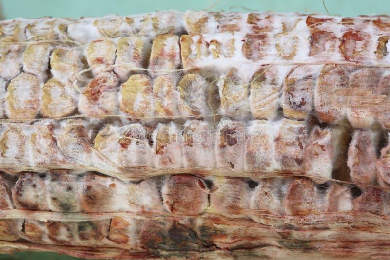Dried and shrunken moldy corn kernels stock image