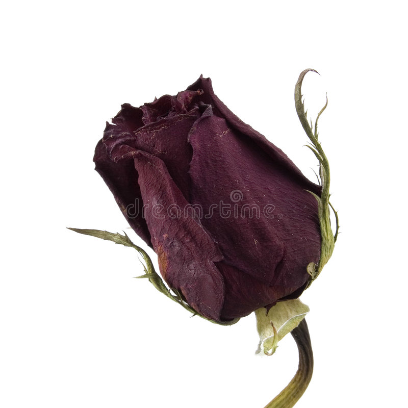 Download Dried Single Red Rose Over White Royalty Free Stock Image - Image: 128766