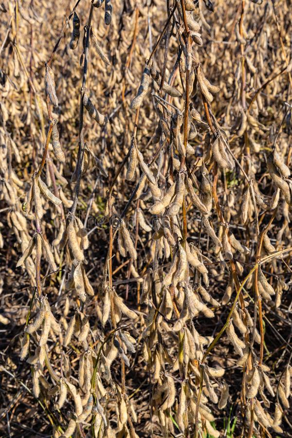 Closeup view of dried soybeans on the stalk ready for harvest stock image